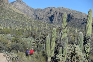 hiking-in-saguaros
